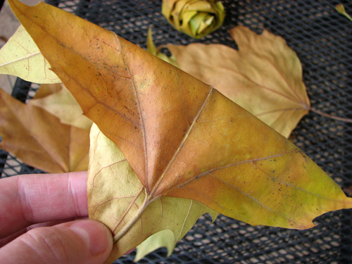 How to make beautiful roses from autumn leaves